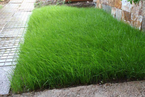 газонная трава Райграс