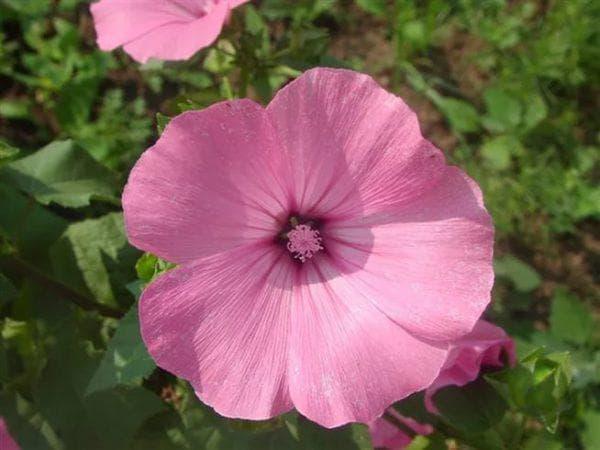 цветок Сильвер Кап