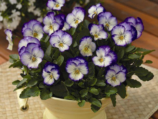 цветы Виола Рогатая