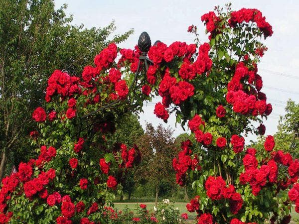 вьющуюся роза