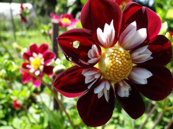цветок Chimborazo