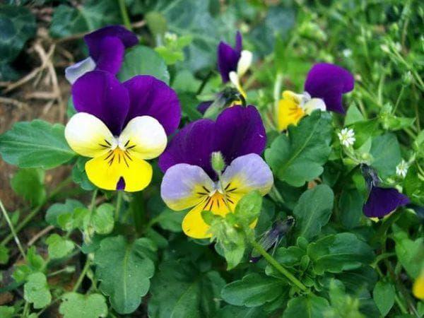 цветы Виола Трехцветная