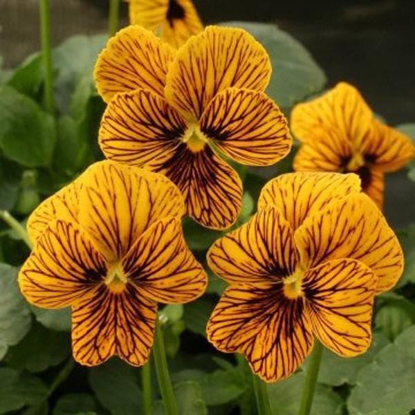цветы Виола Вильямса