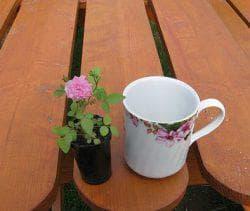 выращивание полиантовой розы из семян