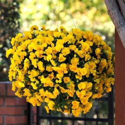 цветы Виола Ампельная