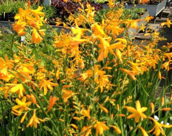 цветок Джордж Дэвидсон