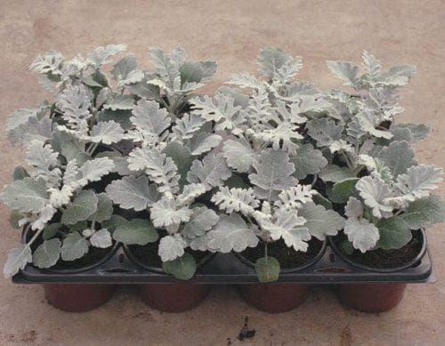 Цинерария посадка и уход в открытом грунте, выращивание из семян и рассады