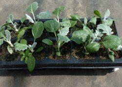 уход за рассадой цинерарии