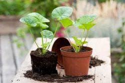 выращивание полиантовой розы из семян дома