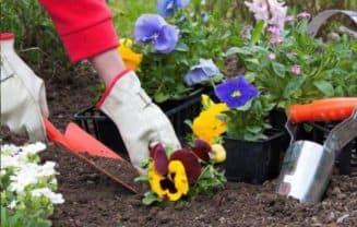как посадить виолу семенами