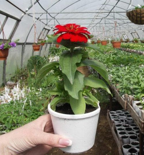 Цветы гербера садовая: посадка и уход в открытом грунте и домашних условиях