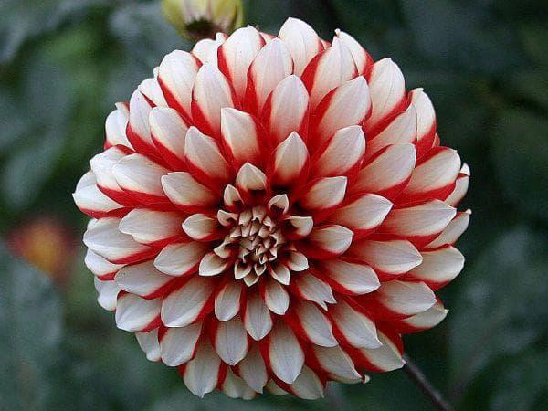 цветы Danny