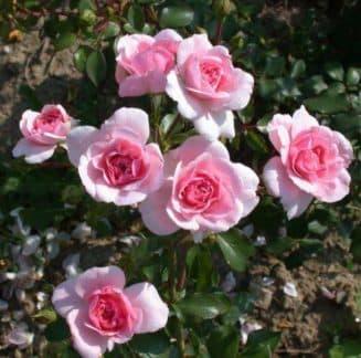 роза полиантовая плазменные семена