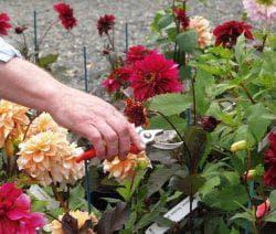 как ухаживать за цветами Георгинами