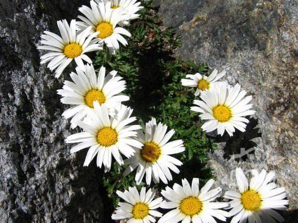 альпийская хризантема