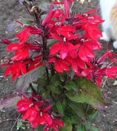 многолетний Лобелия Красный вулкан