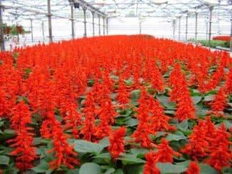 как посадить семена сальвии
