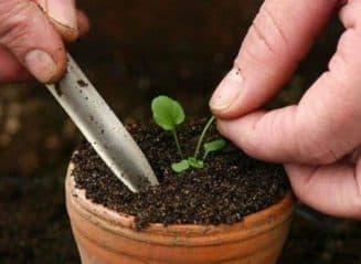 как сажать настурцию семенами на рассаду