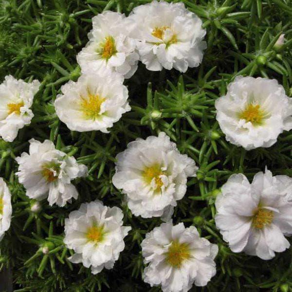 белоцветковый портулак