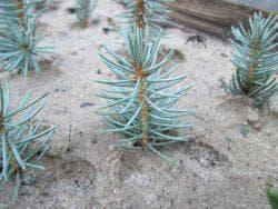 размножение голубой ели черенками