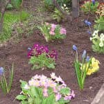 выращивание из семян Астры