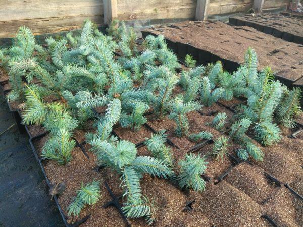 Как вырастить голубую ель из веточки в домашних условиях: как укоренить и черенковать ветку