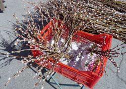 как посадить вербу из веточки