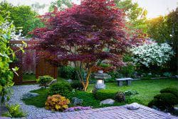 японский клен в саду