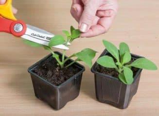 выращивание рассады бальзамина из семян