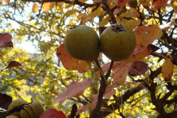 кавказская груша