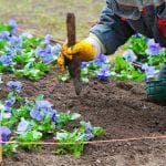 выращивание Кларкии изящной из семян в домашних