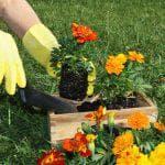 выращивание из семян Василька махровая смесь