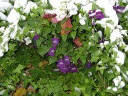 зимнее хранение цветов азарины