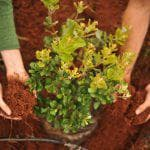 растения для изгороди