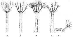 обрезка шелковицы