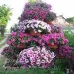 посадка и уход цветков Будлеи
