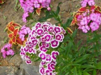 как выращивать китайскую гвоздику из семян