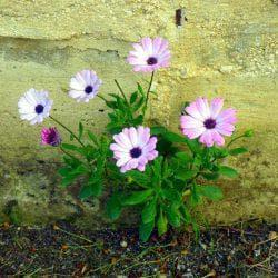 диморфотека в саду