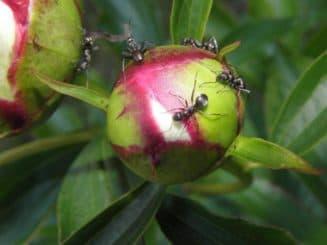 чем опрыскать пионы от муравьев