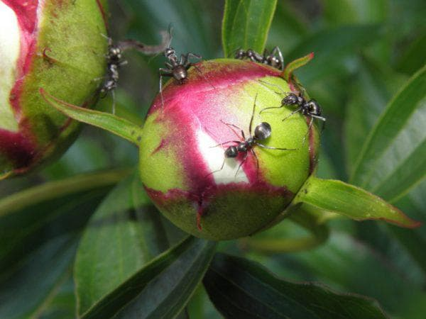 Чем обработать пионы от муравьев народными средствами