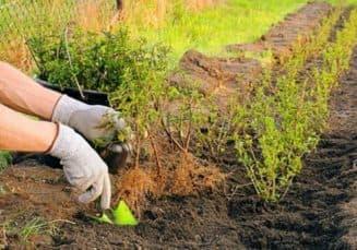 подкормка куста живой изгороди