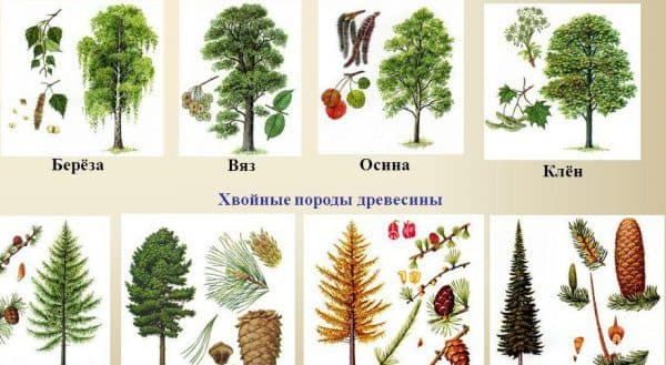 древесные породы растений