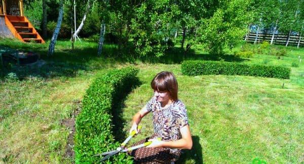 Кизильник блестящий для живой изгороди