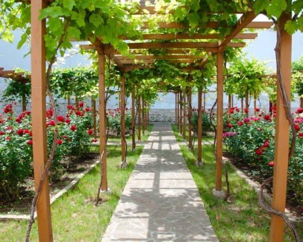 виноградник на участке