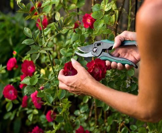 Обрезаем розы