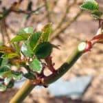 Обрезка плетистых роз весной