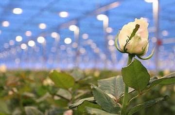 Освещение теплиц с розами
