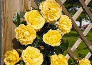 Роза Dukat
