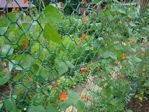 Вьюн на заборе из сетки