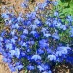 Как посадить, вырастить и ухаживать за семенами цветков лобелии
